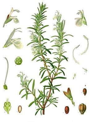 Rosmarinus officinalis Köhlers Medizinal Pflanzen 2581
